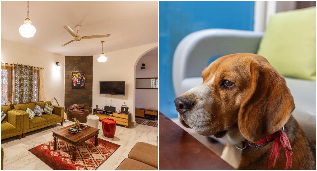 2. Beagle in Bangalore, India