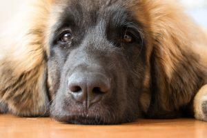 Lang harige hond