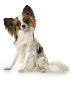 Hondje met langharige oren