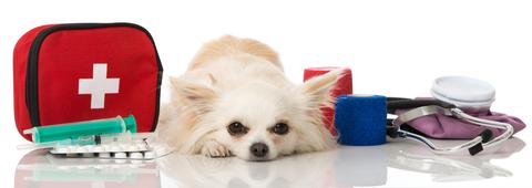 Chihuahua-Meddic