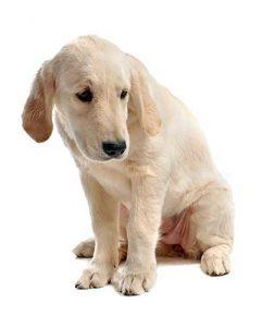 Hoe kan mijn hond lintwormen krijgen?