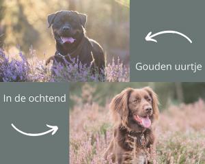 4 tips voor een goede fotografie start: Rottweiler met tegenlicht tijdens gouden uurtje.