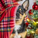 Zijn kerstbomen giftig voor je hond?