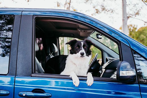 Hond border collie kijkt uit raam van auto