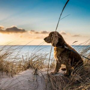 hond zittend in de duinen - De mooiste losloopgebieden in provincie Zuid-Holland